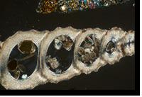 Dubai fossil